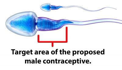 """Image of a sperm with the midpiece highlighted and the caption """"Target area of the proposed male contraceptive."""""""