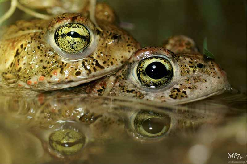 Close up image of two frogs mating.