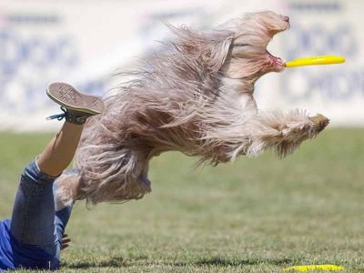 Frisbee catching dog with its hair blowing in the wind.