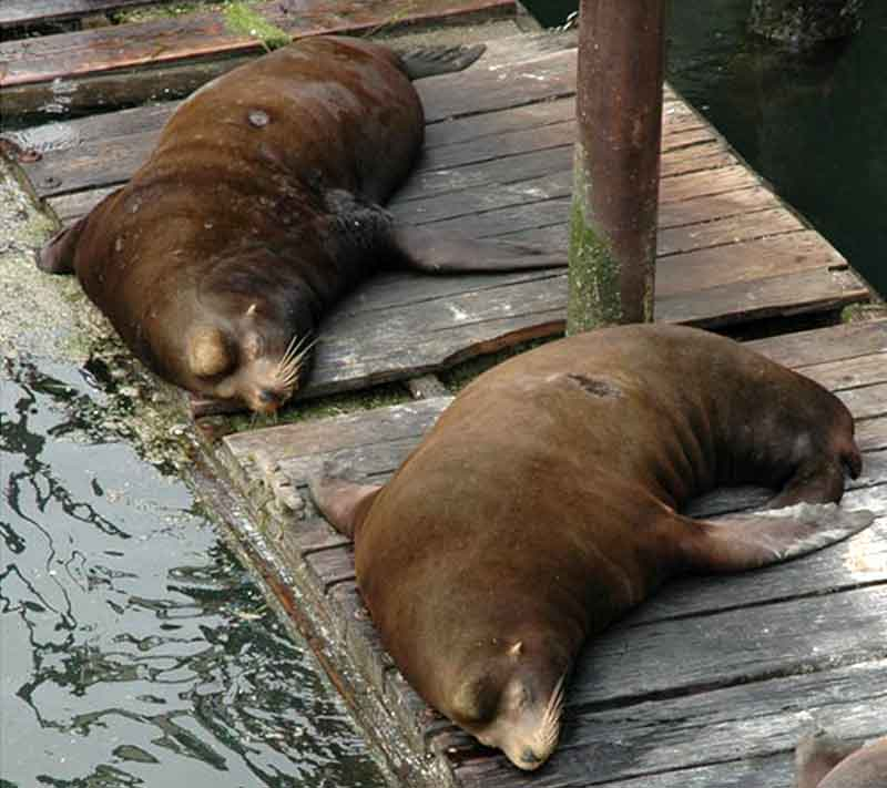Two sea lion males laying on the pier with large bulges above their heads.