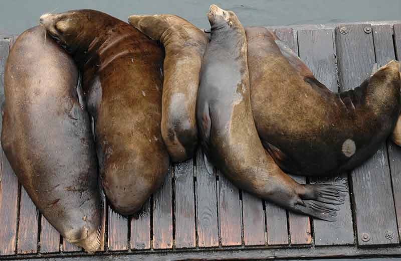 Sea Lions napping on the pier in Newport