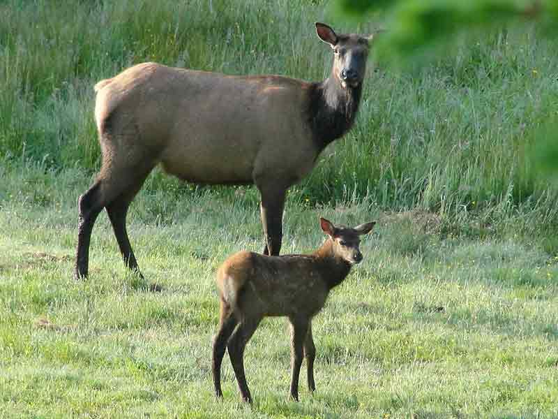 Elk calf and mother.