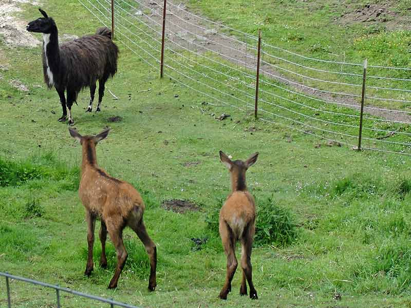 Two young elk calves in our pasture looking at Joe Llama.