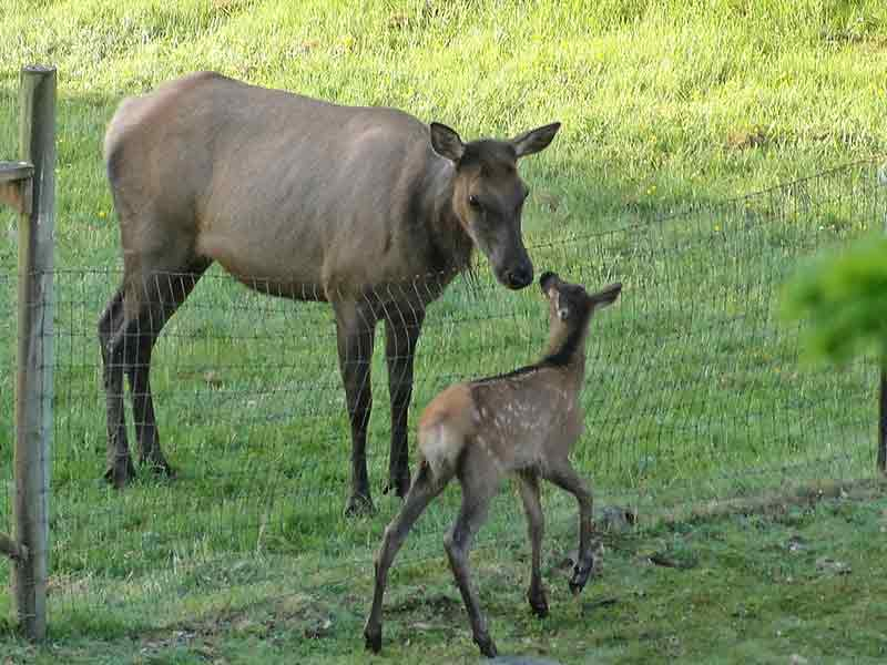 Elk cow nose to nose with elk calf.