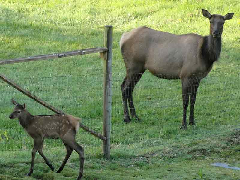 Elk calf and cow.