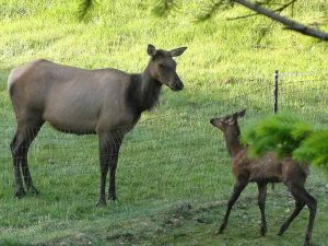 Elk calf and mom looking at each other over a fence.