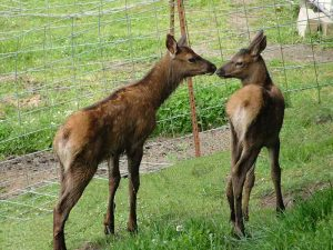 Two young elk calves sniffing each other's noses.